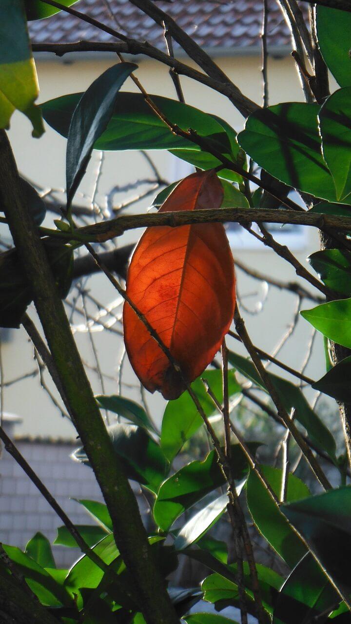 Kirschlorbeer rotes Blatt