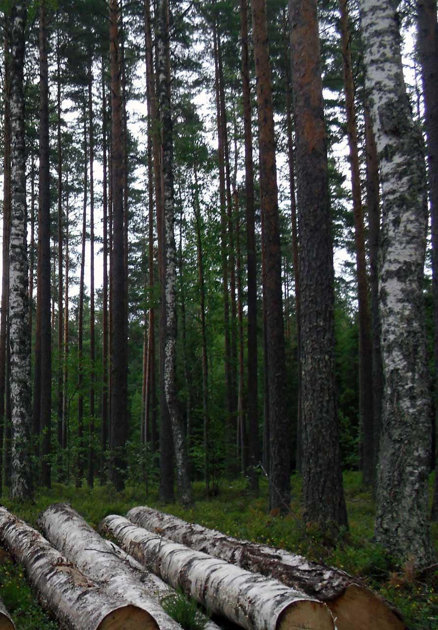 Birken im finnischen Wald
