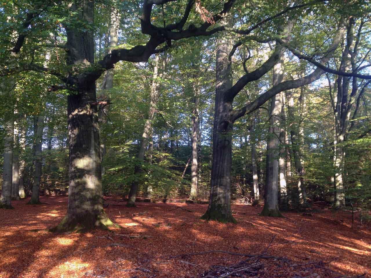 Wald in der Lüneburger Heide