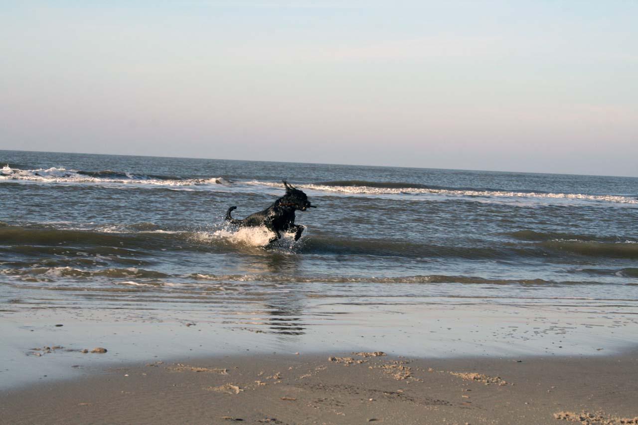 Riesenschnauzer In Der Nordsee