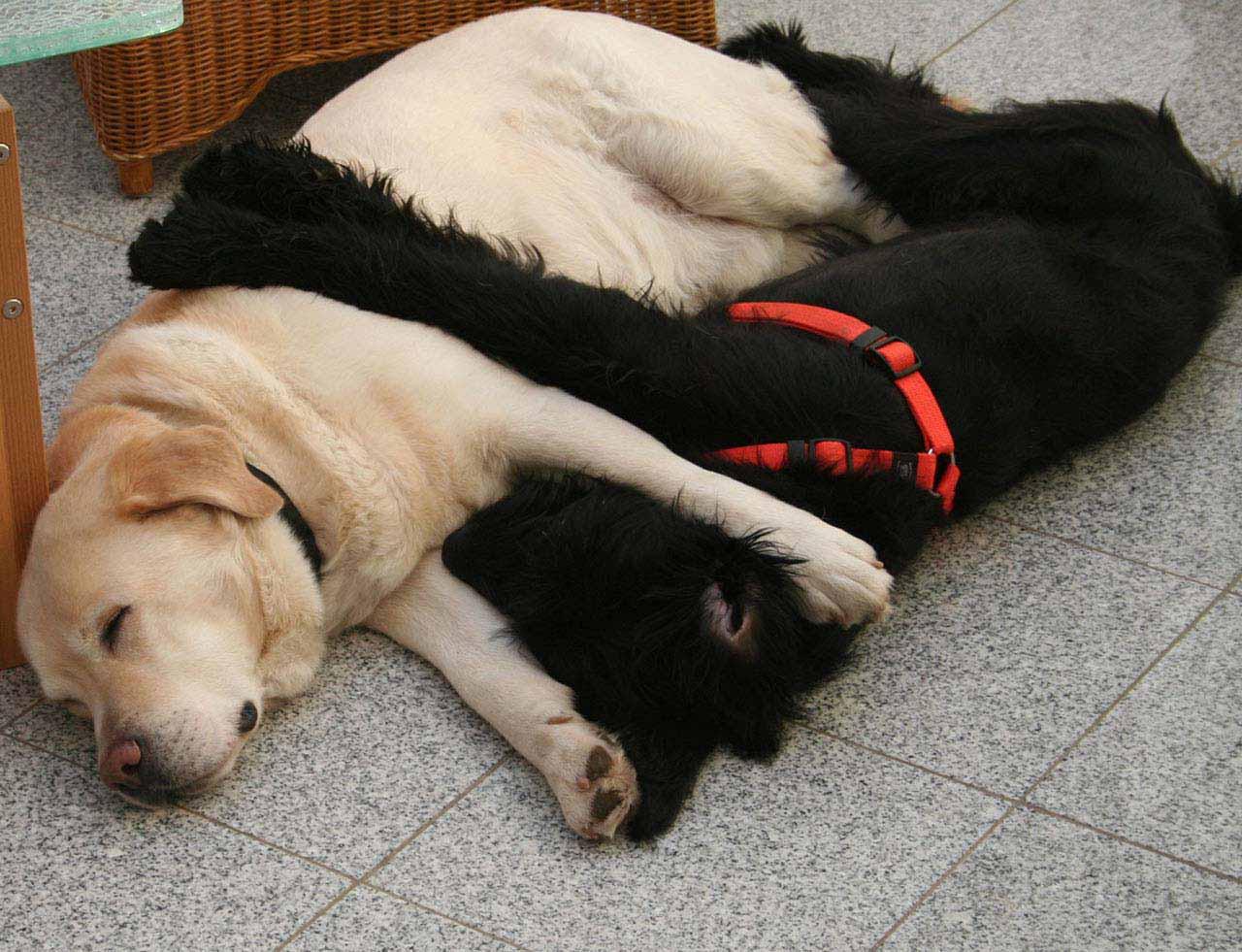 Riesenschnauzer Und Labrador