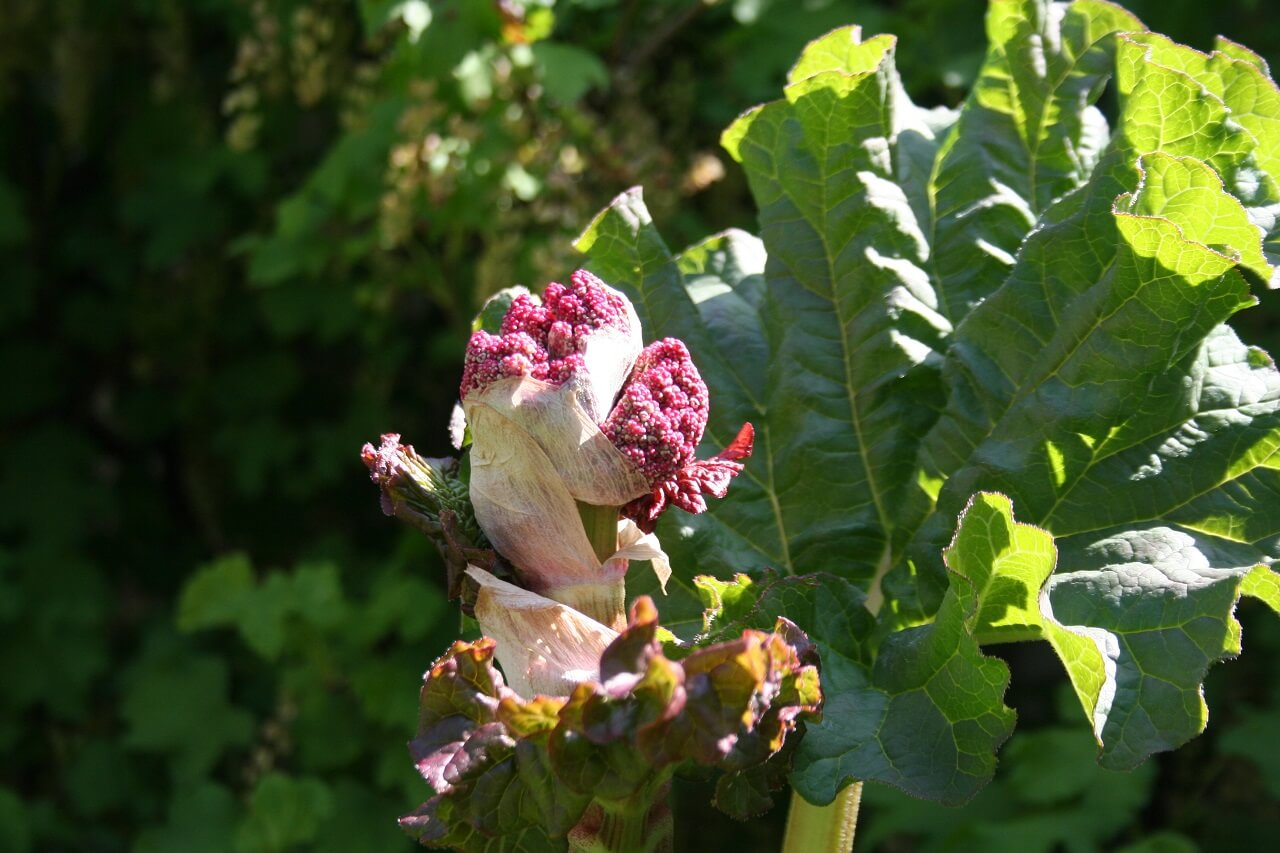 Rhabarberblüte